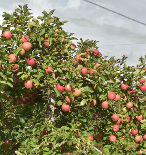 pollination apple trees