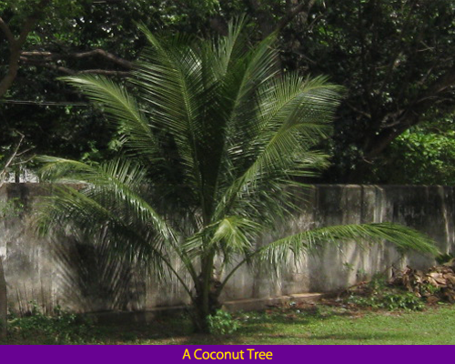 seed dispersal coconut tree