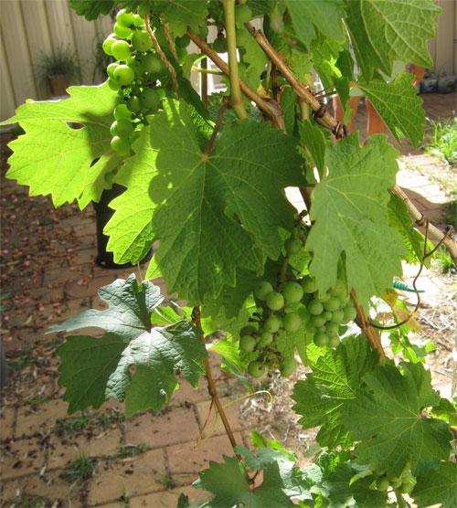 pollination grapevine