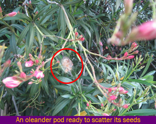 seed dispersal oleander