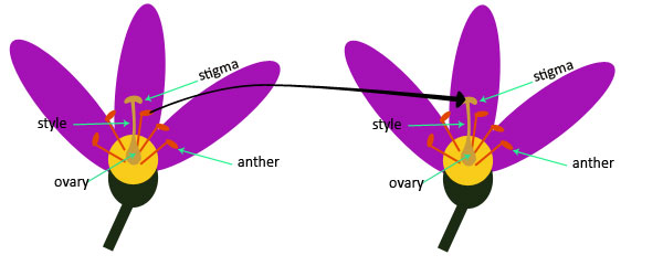 Pollination and fertilization science lessons for kids the k8 school pollination and fertilization ccuart Images