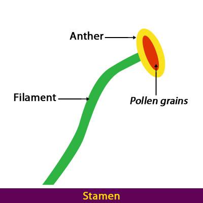 stamen-parts-of-a-flower