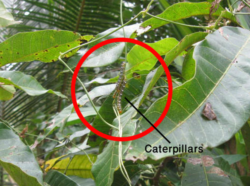 life cycle of a butterfly stage caterpillars
