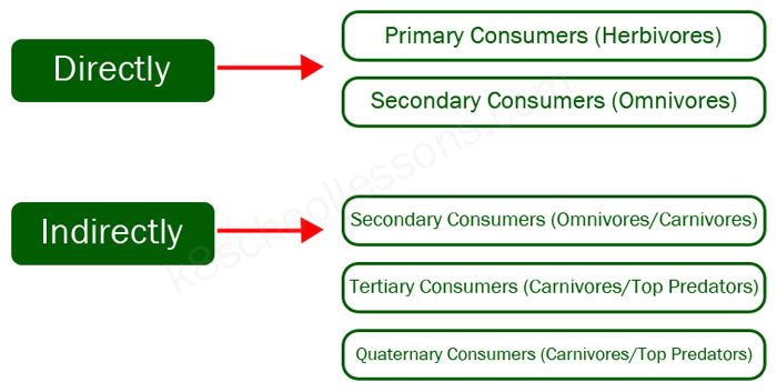 food chains - direct indirect consumers