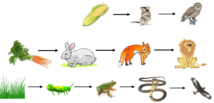 The image shows good three examples of Food Chains and Food Webs. It consist of simple to complex food chains