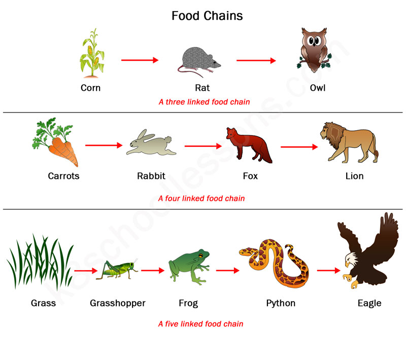 Food chains and food webs examples of food chains and food webs
