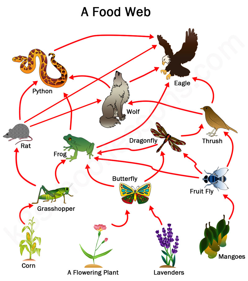 Food Chains and Food Webs : Examples of Food Chains and Food Webs