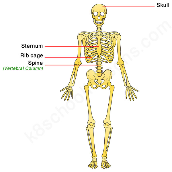 Human skeletal system human body facts skeleton bones facts bones in the axial skeleton ccuart Image collections