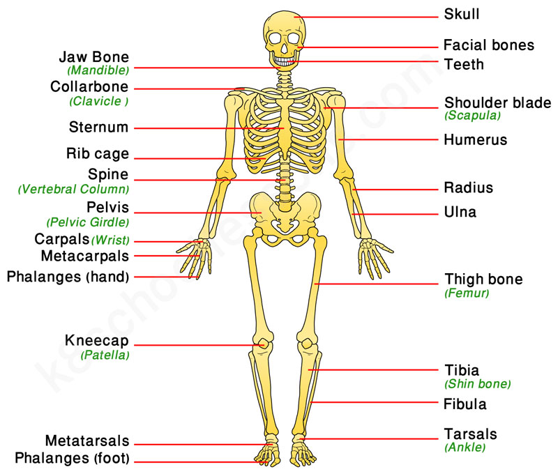 human skeletal system | human body facts - skeleton & bones facts, Human Body