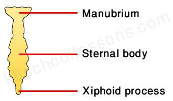 human skeletal system - sternum