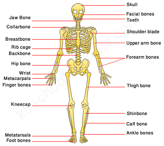 Human Skeleton For Kids Skeletal System Human Body Facts