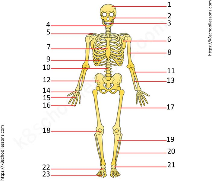 Images Of Skeletal System With Labels
