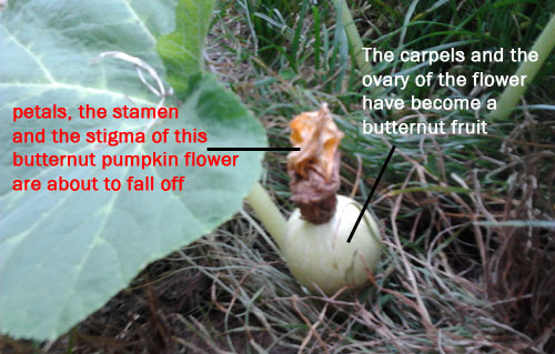 pollination of a butternut pumpkin flower