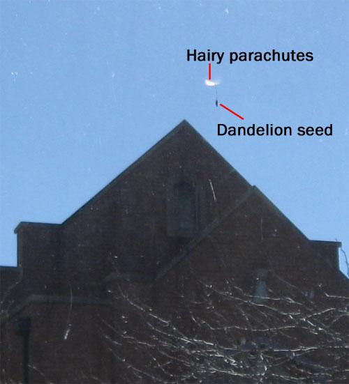 seed dispersal dandelion