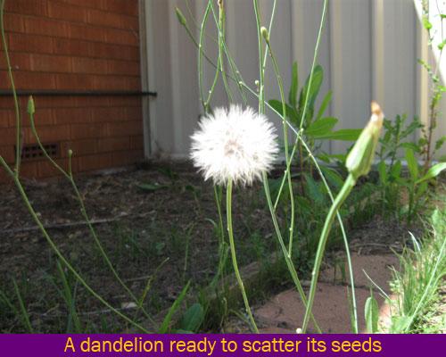 dandelion seed dispersal