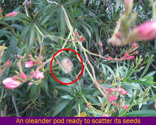 oleander seed dispersal