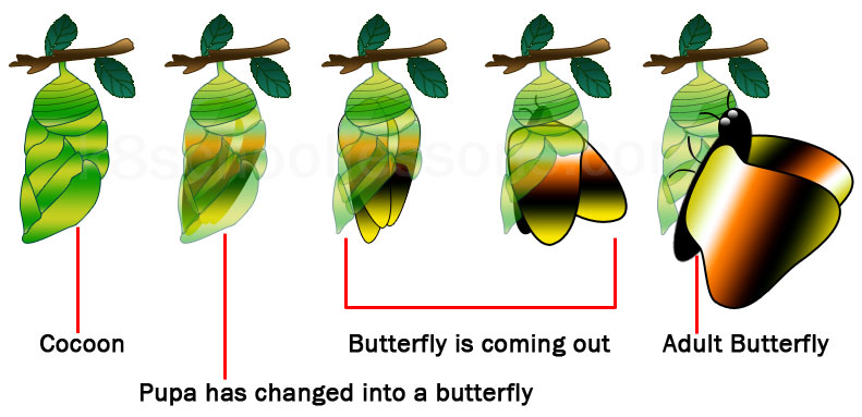 life cycle of a butterfly stage adult butterfly coming out of the cocoon