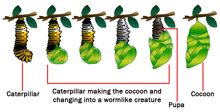 life cycle of a butterfly stage making the butterfly cocoon