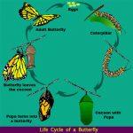 Life Cycle of a Butterfly Life Cycle of a Butterfly