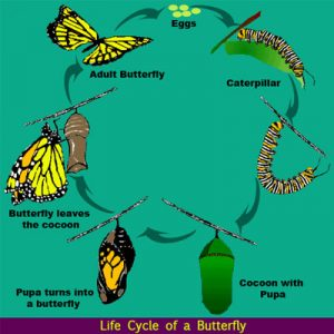 Science Life Cycle of a Butterfly