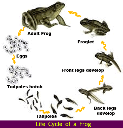 life cycle of a frog diagram