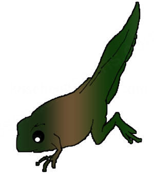 life cycle of a frog stage tadpole with back and front legs
