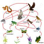 Food Chains and Food Webs Food Chains and Food Webs