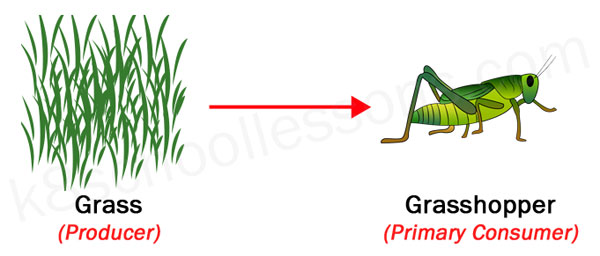 food chains producer grass