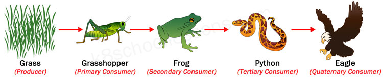 food chains quaternary consumers