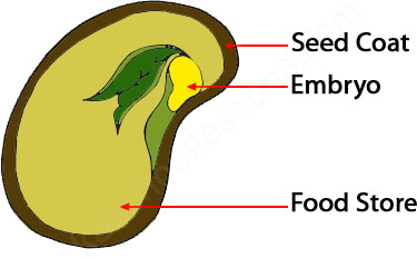 The structure of a seed