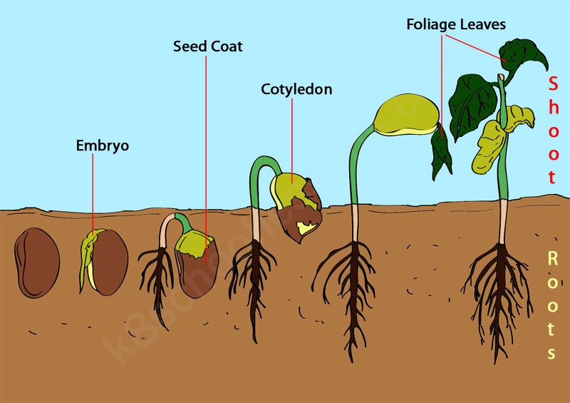 Example of the steps of germination