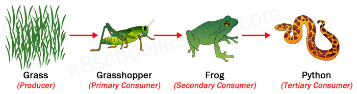 producers and consumers in a food chain