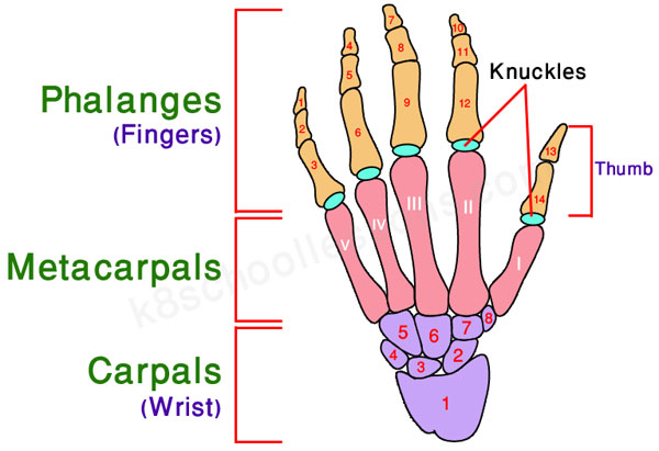 human skeletal system - bones of the hand