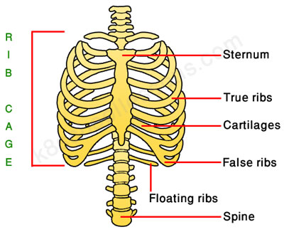 human skeletal system - the rib cage