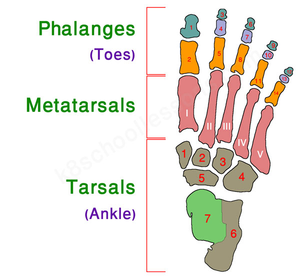 human skeletal system - right foot bones