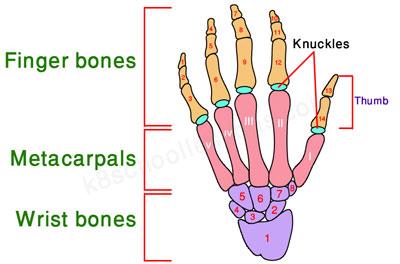 left-hand-bones