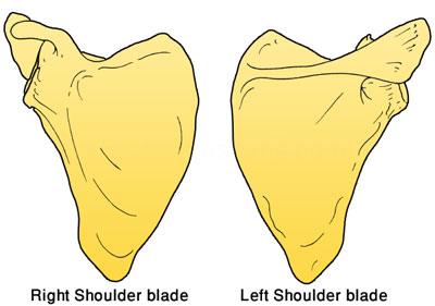 shoulder-blades
