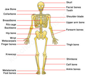 Key Stage Two Human Skeleton