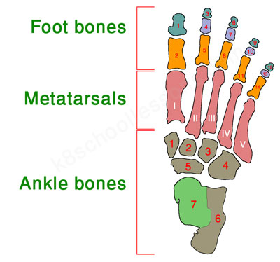 the-right-foot-bones
