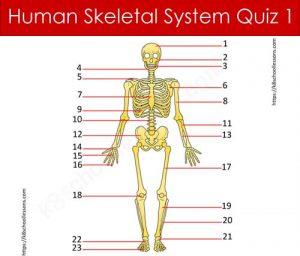 Human Skeletal System Quiz 1 Human Skeletal System Quiz 1