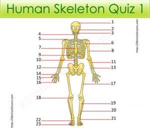 Human Skeleton Quiz 1 Human Skeleton Quiz 1