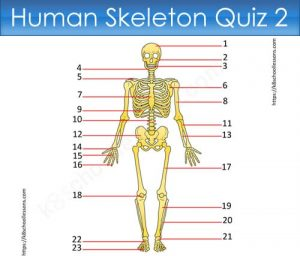 Human Skeleton Quiz 2 Human Skeleton Quiz 2