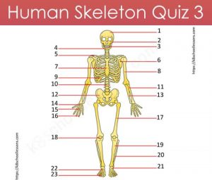 Human Skeleton Quiz 3 Human Skeleton Quiz 3