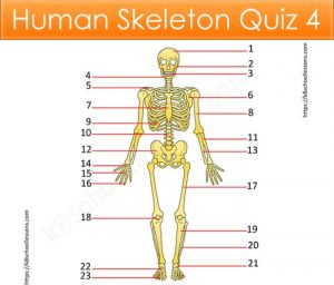 Human Skeleton Quiz 4 Human Skeleton Quiz 4