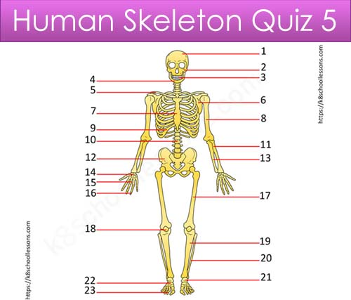 Human Skeleton Quiz 5