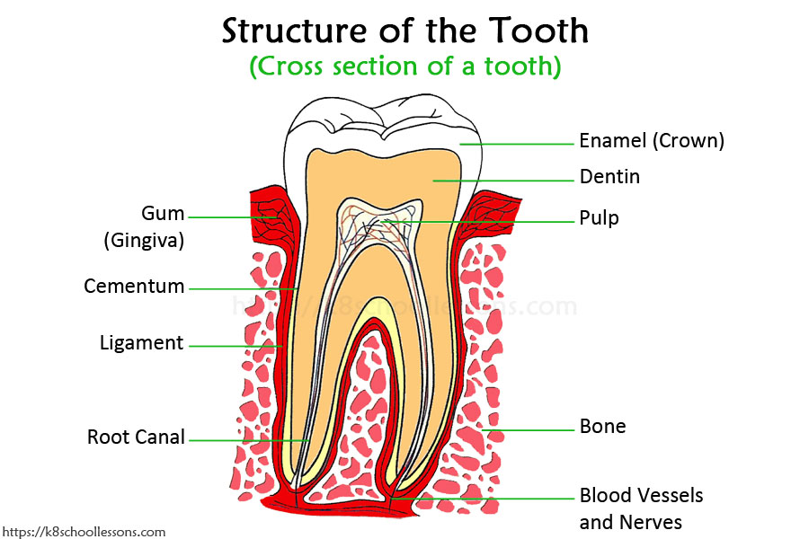Tooth Structure for Kids - Cross Section of the tooth showing the Structure of the Tooth