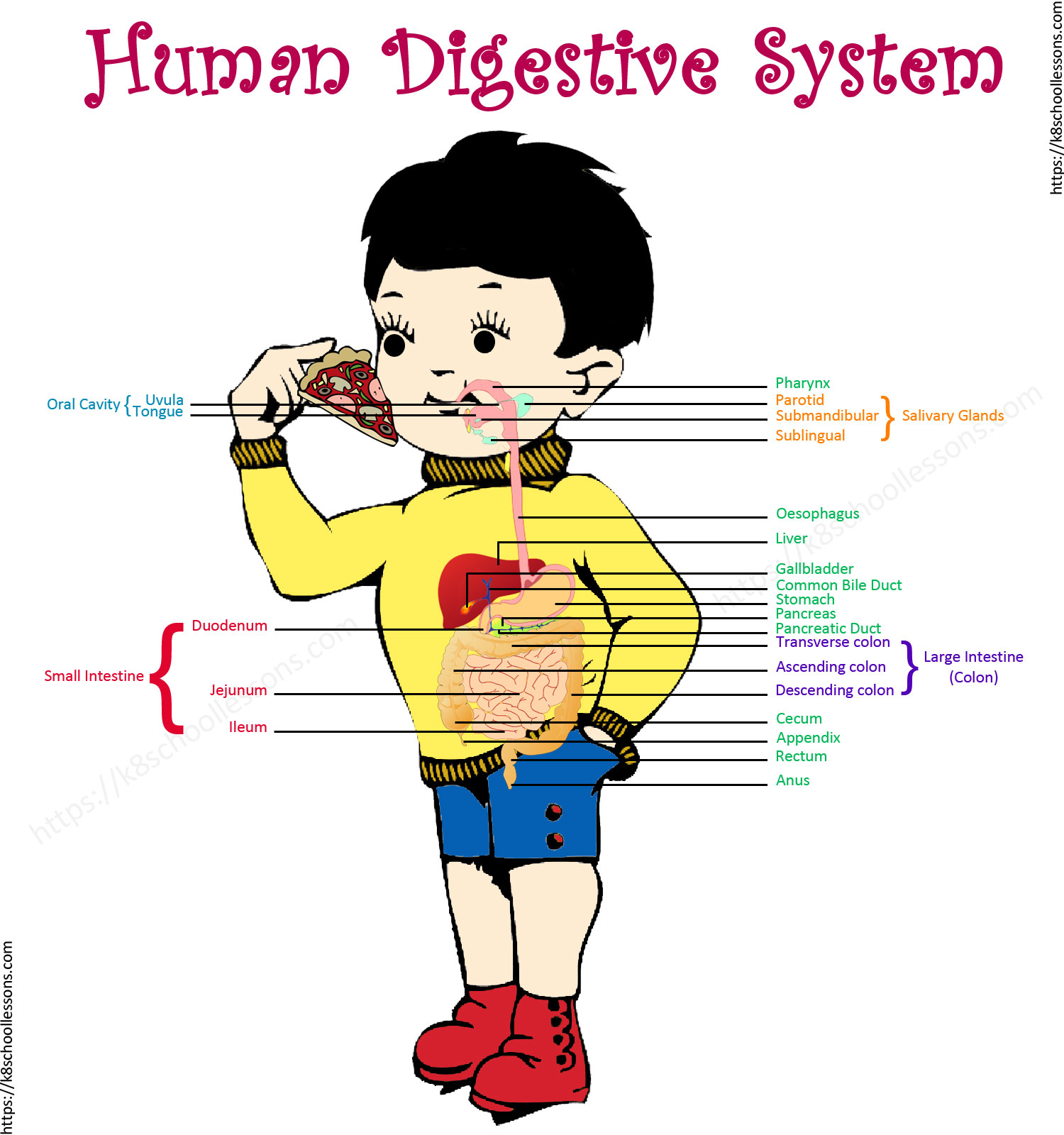 Digestive System For Kids Human Digestive System Human Body Facts