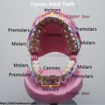 Human Tooth Structure Human Tooth Structure