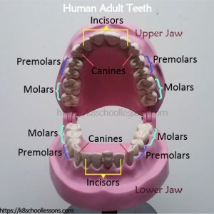 Science Human Tooth Structure