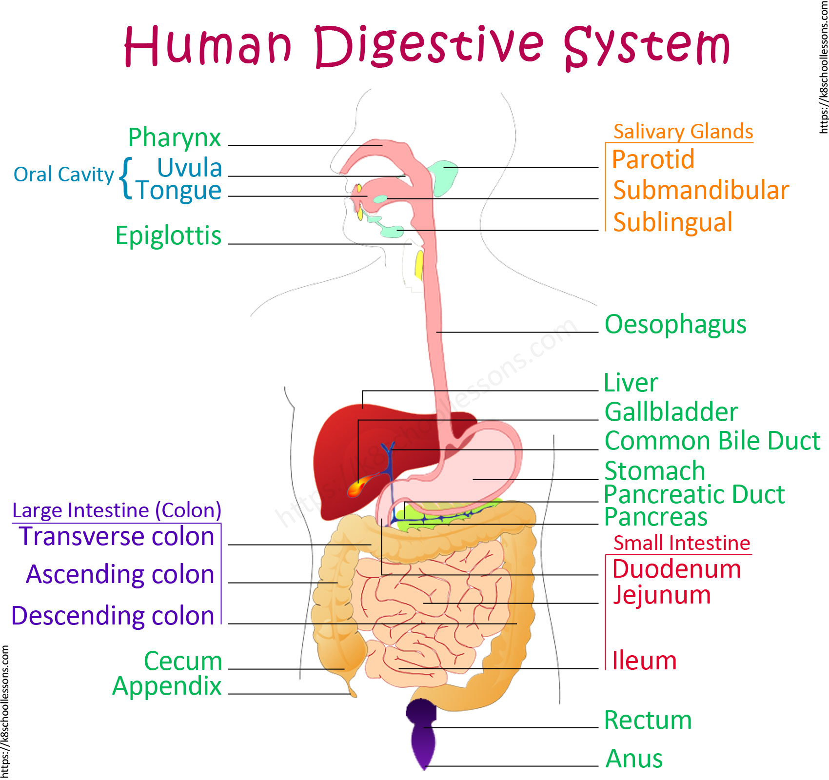 Diagram Of The Digestive System For Kids